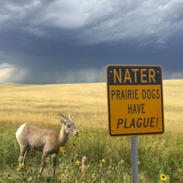 Prairie Dogs Have Plague!